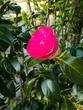 実家の庭の花です