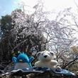 アデリーとギンガムと桜花