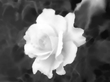 虚無の花。