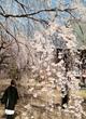 3月22日 滋眼寺の桜